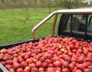Okt.  2013: Apfelernte
