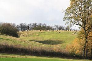 Nov. 2013: Schafe